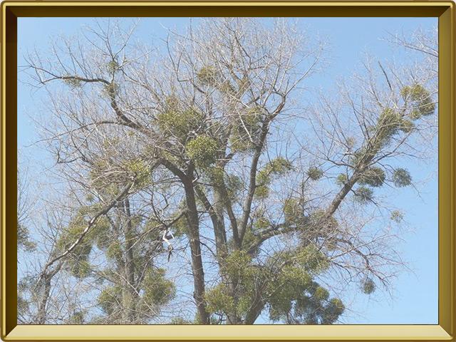 Омела — растение, фото в рамке №2