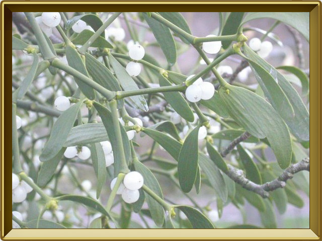 Омела — растение, фото в рамке №3