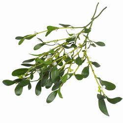 Омела — растение, картинка цветная