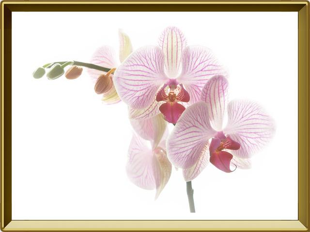 Орхидея — растение, фото в рамке №1