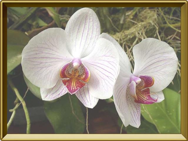 Орхидея — растение, фото в рамке №3