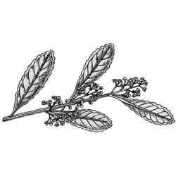 Падуб — растение, картинка чёрно-белая