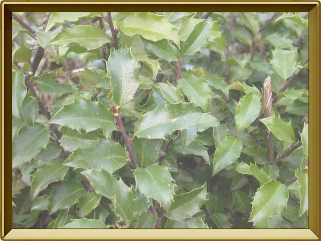 Падуб — растение, фото в рамке №2