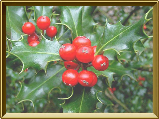 Падуб — растение, фото в рамке №3