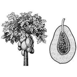 Папайя — растение, картинка чёрно-белая