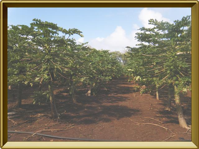 Папайя — растение, фото в рамке №2