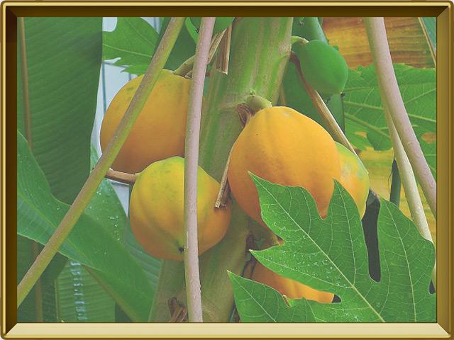 Папайя — растение, фото в рамке №3