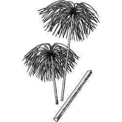Папирус — растение, картинка чёрно-белая