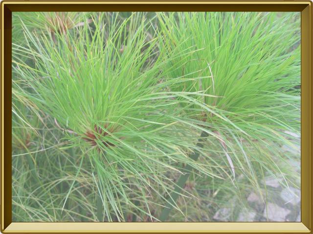 Папирус — растение, фото в рамке №3