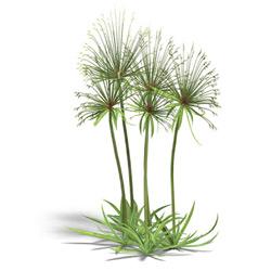 Папирус — растение, картинка цветная