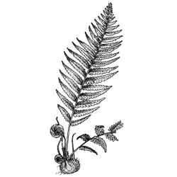 Папоротник — растение, картинка чёрно-белая