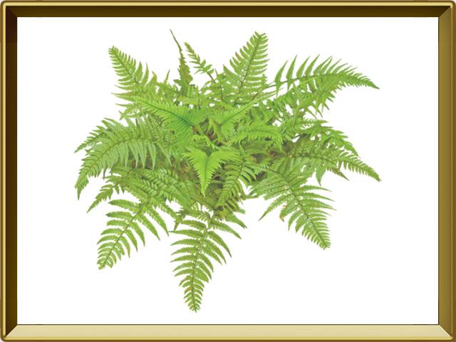 Папоротник — растение, фото в рамке №1