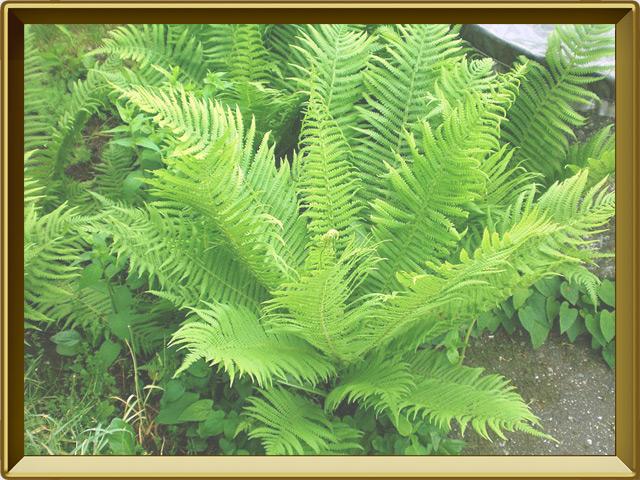 Папоротник — растение, фото в рамке №2