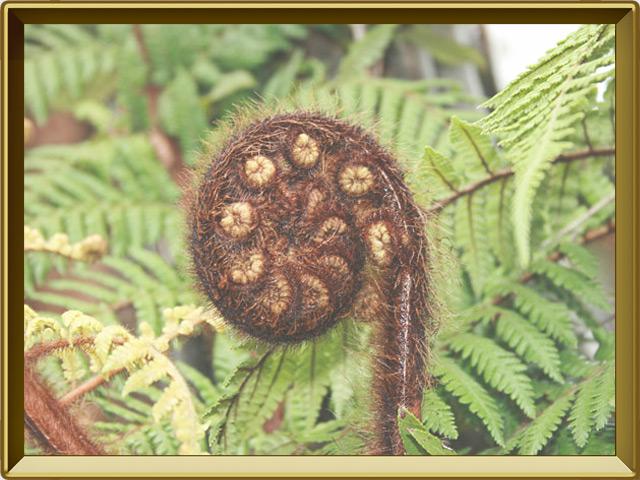Папоротник — растение, фото в рамке №3