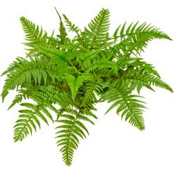 Папоротник — растение, картинка цветная