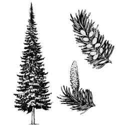 Пихта — растение, картинка чёрно-белая