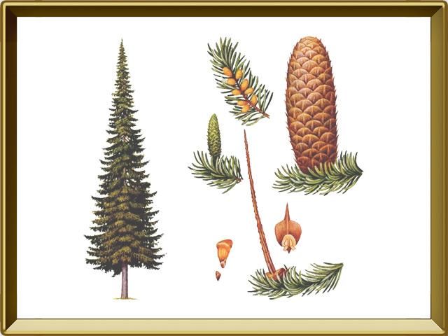 Пихта — растение, фото в рамке №1