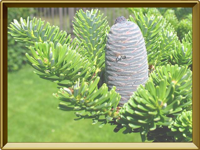Пихта — растение, фото в рамке №3