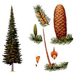 Пихта — растение, картинка цветная