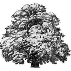 Платан — растение, картинка чёрно-белая
