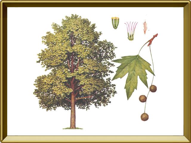 Платан — растение, фото в рамке №1