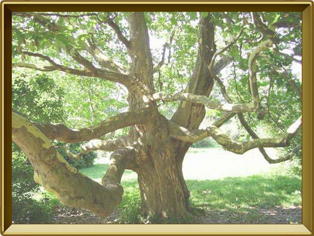 Платан — растение, фото в рамке №2