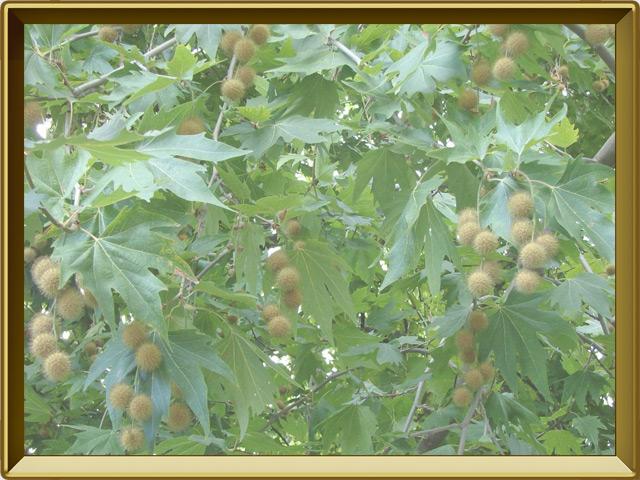 Платан — растение, фото в рамке №3