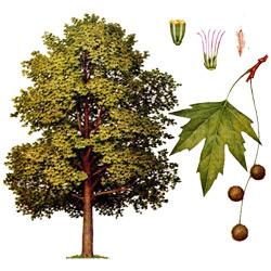 Платан — растение, картинка цветная