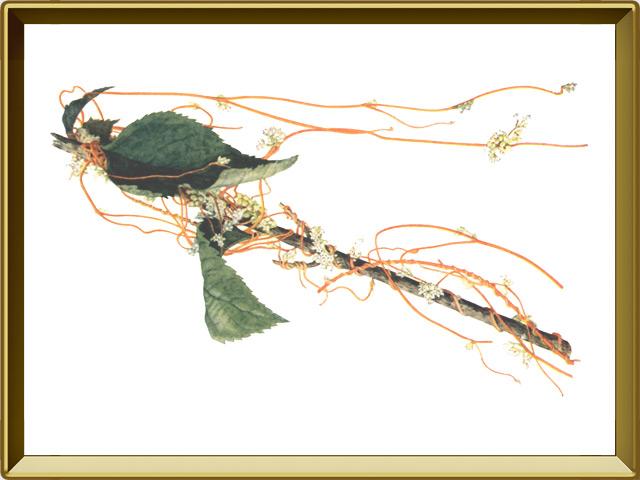 Повилика — растение, фото в рамке №1