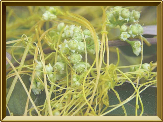 Повилика — растение, фото в рамке №3