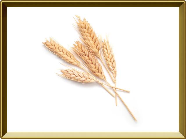 Пшеница — растение, фото в рамке №1