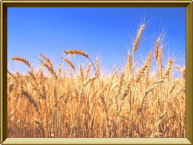 Пшеница — растение, фото в рамке №2