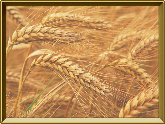 Пшеница — растение, фото в рамке №3