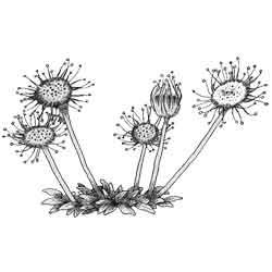 Росянка — растение, картинка чёрно-белая