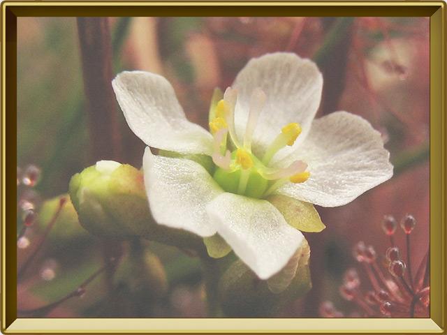 Росянка — растение, фото в рамке №3