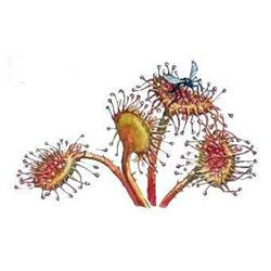 Росянка — растение, картинка цветная