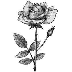 Роза — растение, картинка чёрно-белая