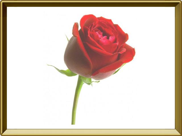 Роза — растение, фото в рамке №1