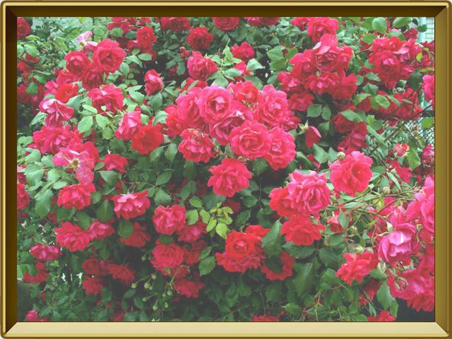 Роза — растение, фото в рамке №2