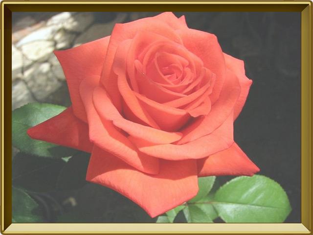 Роза — растение, фото в рамке №3