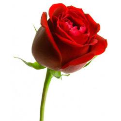 Роза — растение, картинка цветная