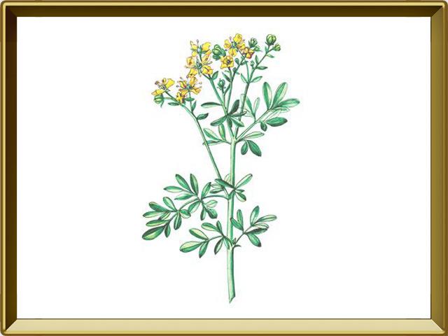 Рута — растение, фото в рамке №1