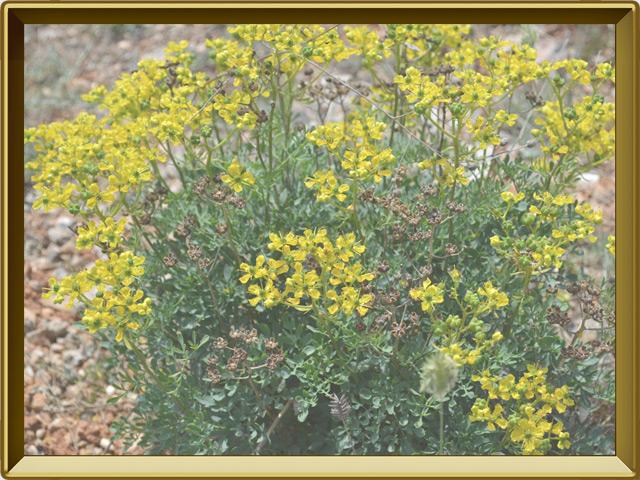 Рута — растение, фото в рамке №2