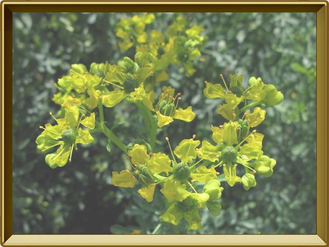 Рута — растение, фото в рамке №3