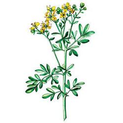 Рута — растение, картинка цветная