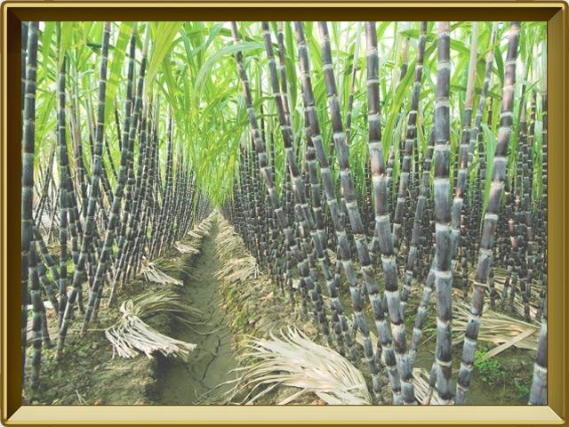 Сахарный тростник — растение, фото в рамке №2