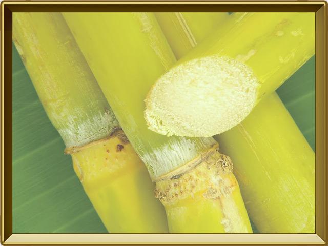 Сахарный тростник — растение, фото в рамке №3