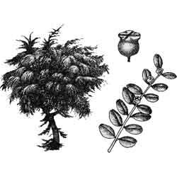 Самшит — растение, картинка чёрно-белая