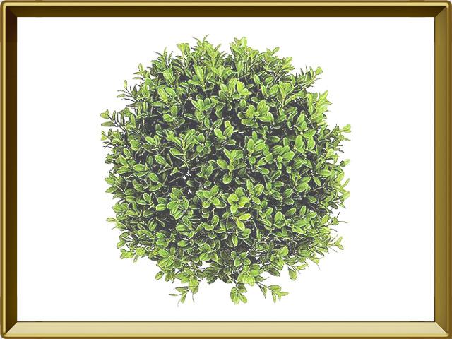 Самшит — растение, фото в рамке №1