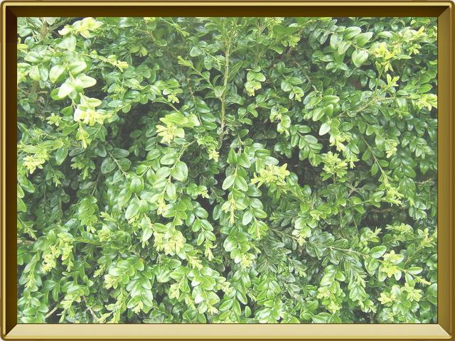 Самшит — растение, фото в рамке №2